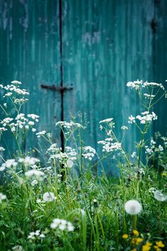 white flowers with an old blue wooden door as background. the definition of simplicity and beauty.