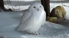 Snowy Owl at Mountsberg Raptor Centre