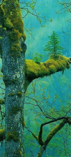 A tree growing on another tree, and moss - gorge!