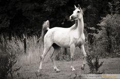 Shagya Arabian mare