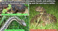 How To Identify Dangerous Snakes from Safe Ones - Is the Snake Venomous? Snake Removal, Keep Snakes Away, Kinds Of Snakes, Poisonous Snakes, Coral Snake, The Venom, Pit Viper, Snake Venom, Survival Stuff