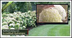 The Incrediball Hydrangea