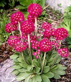 Gömbös kankalin (Primula denticulata)