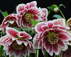 Double Painted Hellebores: Northwest Garden Nursery specializing in hard to find perennials...Eugene, Oregon