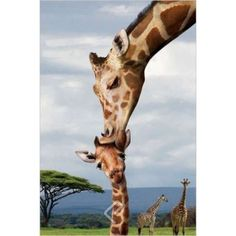 Mama giraffe kissing baby's head. Makes me smile every time.