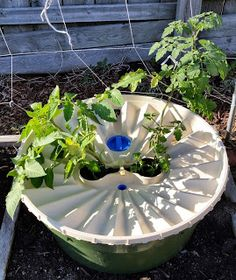 Here you see a roma (left) and cherry (right) tomato growing without any outside watering with the Groasis Waterboxx.