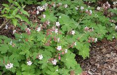 Geranium macrorrhizum 'Spessart' - Maréchal mooie borderplant met talrijke lichtroze bloemen, het oude blad krijgt een bronsrode herfstkleur, sterk geurend blad bij aanraking, kan zich met zijn wortelstokken sterk uitbreiden, zeer geschikt voor grote plantvakken.