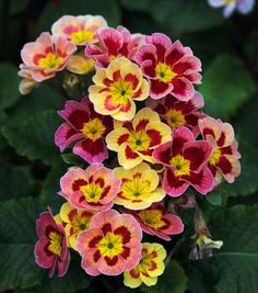 English Primrose - sun/part sun/shade depends on variety.  #perennial #flower