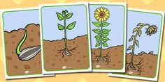 Sunflower Life Cycle Display Posters - twinkl