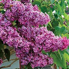 Lilac Syringa vulgaris 'Adelaide Dunbar' - Big double flowers of richest purple, it also boast spring foliage of bright maroon and one of the most intense and sweet scents in the Lilac family. Zones 3-7