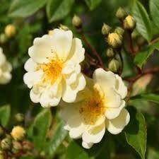 Bilderesultat for Rosa Helenae Hybrida Beautiful Roses, Garden Inspiration, Floral, Flowers, Plants, Bouquets, Bouquet, Bouquet Of Flowers, Plant