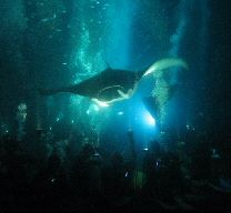 Manta Ray Diving in Big Island.  I have seen them from the sub, but I want to be the other side with them next time.