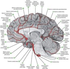 Important because if strokes temporarily cut off specific blood vessels, it starves the surrounding blood vessels they'd normally supply. Brain Anatomy, Human Anatomy And Physiology, Medical Anatomy, Body Anatomy, Brain Science, Medical Science, Blood Vessels Anatomy, Cerebral Circulation, Brain Facts