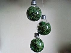 Recycled light bulbs into hanging moss terrariums
