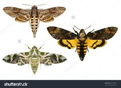 Moths.Sphingidae Family(Lepidoptera) Species.Daphnis Nerii ...