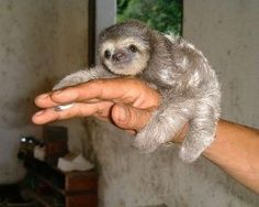 Baby sloth :) Cute