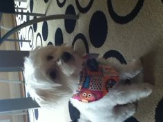 Ices after his bath!! Maltese