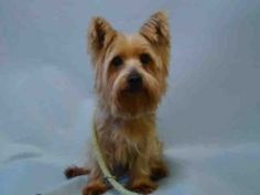 SUPER URGENT 12/20/16  SIMBA – A1100169  MALE, BROWN / GRAY, YORKSHIRE TERR MIX, 8 yrs OWNER SUR – EVALUATE, NO HOLD Reason MOVE2PRIVA Intake condition EXAM REQ Intake Date 12/20/2016, From NY 10468, DueOut Date 12/20/2016,