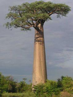 Adansonia grandidieri (Grandidien Baobab Tree)