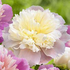 Peony Double 'Lady Alexandra Duff' from Longfield Gardens ♥