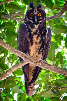 Stygian Owl. It lives in South America and parts of Central America.