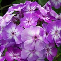 Buy Phlox Pixie Miracle Grace Perennial Plants Online. Garden Crossings Online Garden Center offers a large selection of Phlox Tall Garden Plants. Shop our Online Perennial catalog today!