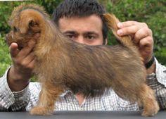 Norfolk Terrier | Peanuts - Norfolkterrier