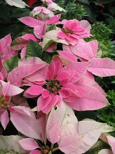 310 Poinsettias Ideas Poinsettia Flowers Christmas Poinsettia