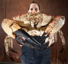 The Tasmanian King Crab