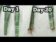 Propagate Snake plant / Mother in law's tounge from single leaf Snake Plant Propagation, Sansevieria Plant, Plant Cuttings, Veg Garden, Vegetable Garden Design, Garden Plants, Indoor Plants, Mother In Law Plant, Mother In Law Tongue