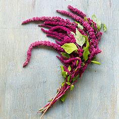 Love-lies-bleeding (Amaranthus caudatus) | Sunset.com