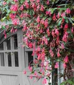 Coral honeysuckle will twine around anything in its path, scaling a 10- to 15-foot trellis in a single season.