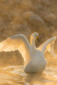 Bewick's swan winter morning by tatsuo yamaguchi - Photo 132988933 - Beautiful Swan, Beautiful Birds, Animals Beautiful, Swans, Animals And Pets, Cute Animals, Tier Fotos, Swan Lake, Bird Watching