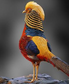 Multicolored Chinese Pheasant