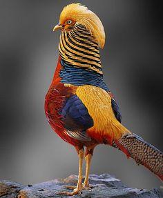 Multicolored Chinese Pheasant – Very Beautiful