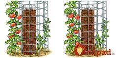 Perfektný tip, ako mať bohatú úrodu rajčín na malej ploche, bez každodenného zavlažovania a len z 5 priesad. tento nápad poslúži hlavne tam, kde nie je k dispozícii veľká plocha na pestovanie.