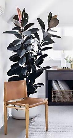 Plant Love: The Best Indoor Trees - Garden Life Rubber Plant, Rubber Tree, Potted Plants, Indoor Plants, Best Indoor Trees, Ficus Elastica, Garden Trees, Botany, Houseplants