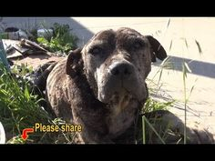Dennis - a sick, neglected Pit Bull gets abandoned on a bridge and left to die. Please share. - YouTube
