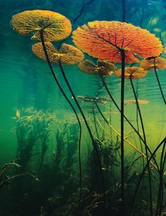 congenitaldisease: Water lilies as seen from underwater.