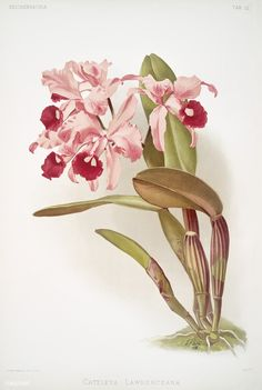 Free Public Domain | www.rawpixel.com | Cattleya lawrenceana from Reichenbachia Orchids (1888-1894) illustrated by Frederick Sander (1847-1920).