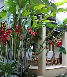 Exotic Tropical Heliconia Plants : Outdoor Patio Garden With Heliconia Plants Heliconia plants make bold statements in gardens. Heliconia is a genus of tropical flowering plants that are notable for the colored bracts.