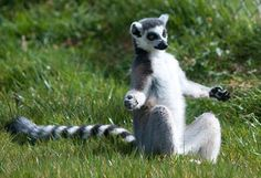 Let's trance: a ring-tailed lemur meditates in the half lotus position...