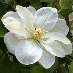 La Clématite Guernsey Cream est une grimpante précoce qui fleurit en mai-juin et remonte en août-septembre. Grandes fleurs d'un blanc crème et de centre jaune-vert, de 12 cm de diamètre. En septembre, les fleurs sont plus petites et d'un blanc cassé. De très bonne rusticité, la clématite peut atteindre 4 m de haut. Port grimpant, se plaît sur de vieux murs ainsi que sur des treillages, des grillages mais aime également grimper dans les arbres à l'aide de ses nombreuses vrilles.