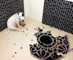 Bull terrier  Unfortunately my girl Sassy also loves to eat rugs! I wonder if this is common?