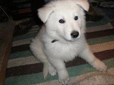 berger blanc suisse dog photo | Je me renseigne pour faire la confirmation à titre initiale (France).