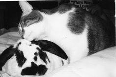 Sød kærlighed er opstået mellem en kat og en kanin  #huskaniner #kaninhåndbogen  www.kaninhaandbogen.dk