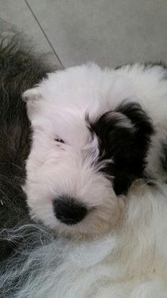 Old English sheepdog Dougal having a cuddle with Daisy