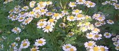 Őszi Margitvirág (Tanacetum parthenium) - Természet Patikája Egyesület