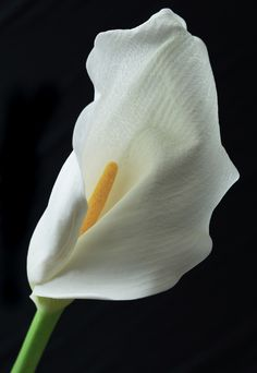 ~~ Calla Lily by Terrence Davis ~~