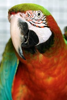 Lucas  Parrot (Other) • Adult • Male • Medium  Best Friends Animal Society Kanab, UT
